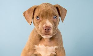 lab pit mix