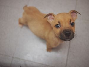 pitbull lab mix puppies