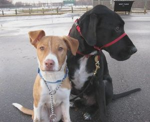 pitbull lab mix training