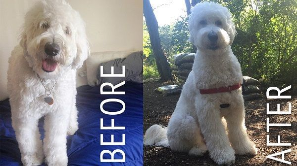 How To Groom A Goldendoodle Step By Step Guide Dogclippersly
